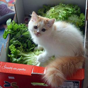 chaton salades
